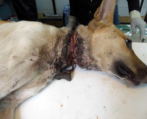 dog-with-neck-wound-she-must-have-been-suffering-for-quite-some-time